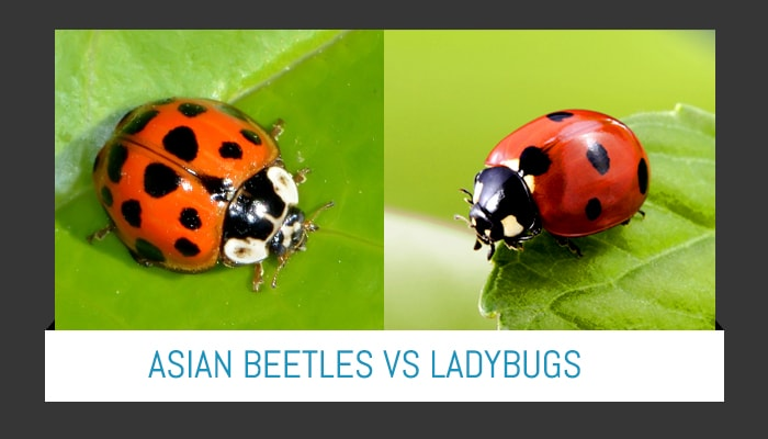 Preferred Pest Asian Beetles Article